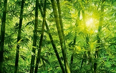 00123_Bamboo_Forest_print