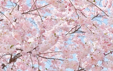 00155_Pink_Blossoms_web