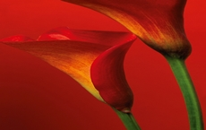 00406_Red_Calla_Lilies_print