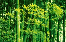 00670_Bamboo_in_Spring_print